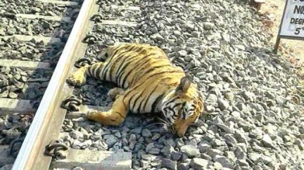 tiger_struck_by_train.jpeg